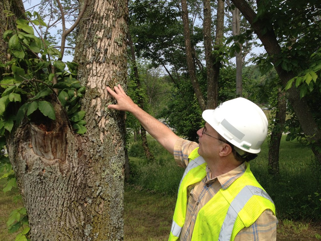 removing dying ash trees, removing dying ash trees safely