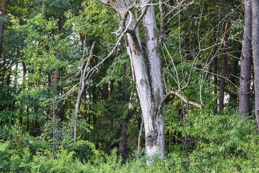 dying ash tree, emerald ash borer killing trees