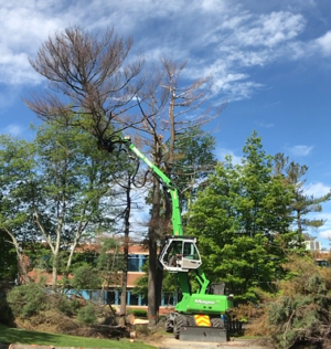 safe tree removal, safe ash tree removal, removing dead ash trees safely